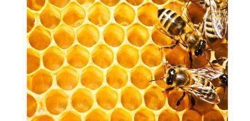 روش جدید برای دارو رسانی به مغز از طریق زهر زنبور