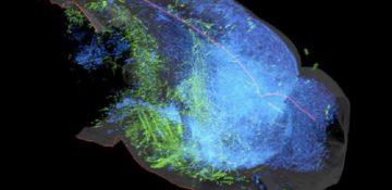 تدوین نقشه جدید از سیستم سروتونین مغز